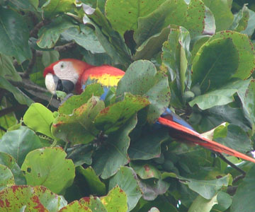 costaricaanimals_birds_macaw18