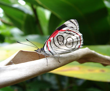 costaricaanimals_butterflies19