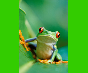 costaricaanimals_frogs2