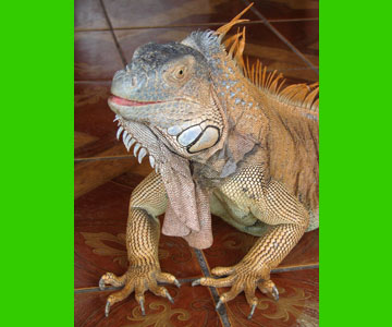 costaricaanimals_iguana25