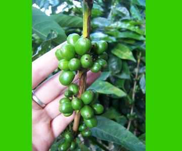 costaricaplants_coffee6