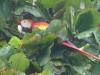 costaricaanimals_birds_macaw18