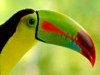 costaricaanimals_birds_toucan1