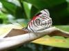 costaricaanimals_butterflies19