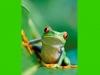 costaricaanimals_frogs2