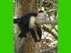 costaricaanimals_monkey38