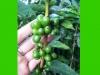 costaricaplants_coffee6