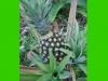 costaricaplants_misc171