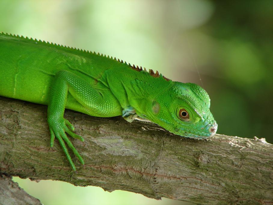costaricaanimals_iguana36